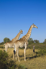 Two southern giraffes (Giraffa giraffa) standing in a grassy field at the Okavango Delta in Botswana, Africa