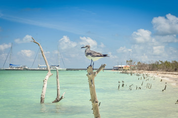Seagull on the desert island of Cayo Blanco