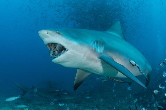Bull shark feeding fish head