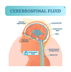 Cerebrospinal fluid vector illustration. Anatomical labeled diagram with human superior sigittal sinus, arachnoid Villi, subarachnoid and spinal cord central canal.