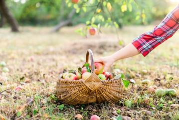 Woman placing apples in basket