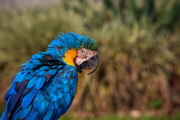 Macaw Parrot Side View Photograph, Highly Detailed Feathers - Soft brown and green colors in the Background, Parrot has ruffled feathers and a very surprised expression on its face