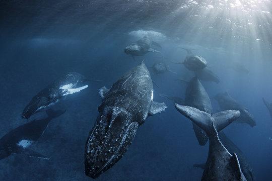 Humpback whales swimming in ocean