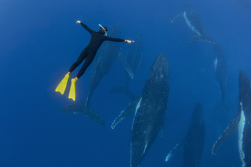 A male free diver diving with humpback whales