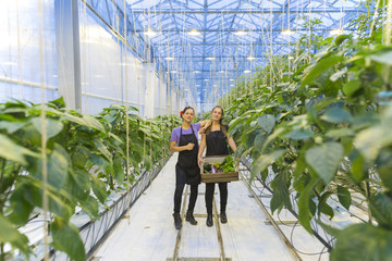 Two female workers or employees holding  a wooden crate with vegetables in a modern greenhouse