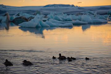 Ducks Swimming at Jokulsarlon Glacier Lagoon in Iceland.