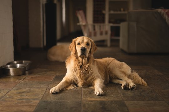 Dog relaxing a home