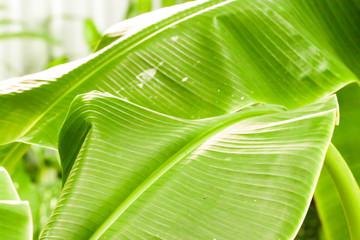 Closeup of green tropical banana leaf