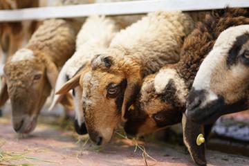 Many Sheep eating grass