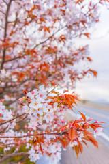 pink sakura flower (cherry blossom) in Japan.