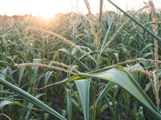 Fotoväggar - Trockenheit - Mais - Wassermangel - Trockenstress