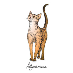 Abyssinian, cat breeds illustration with inscription, hand drawn colorful doodle, sketch, vector