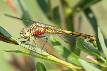 Common darter dragonfly (Sympetrum striolatum). Focus stacking