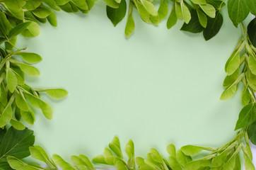 Acer negundo frame  on pastel mint color background. Frame composition,copy space