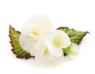 Begonia white flowers.