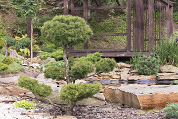 Trees of bonsai, pines in a Japanese stone garden