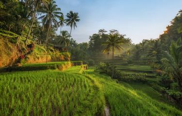 Aluminium Prints Rice fields Rice terraces in Tegallalang, Ubud, Bali, Indonesia Crop, Farm, Field