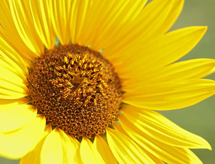 Flowering sunflower from close-up.