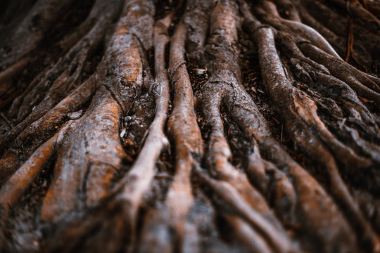 Huge dramatic brown roots of a tropical tree in a rainforest with a shallow depth of field, selective focus on the middle distance