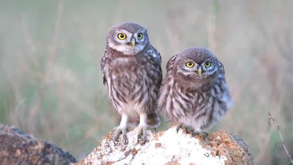 Fototapete - Two young Little owl (Athene noctua) stands on a stone and looks around
