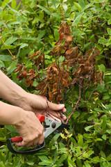 hands pruning honeysuckle with secateurs in the garden