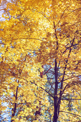 Autumn forest scenery with yellow maple leaves