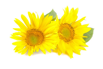 Big beautiful yellow sunflower with a leaf on a white isolated background