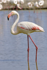 Flamingo (Phoenicopterus ruber) in water seen from profile, in the Camargue is a natural region located south of Arles, France, between the Mediterranean Sea and the two arms of the Rhône delta