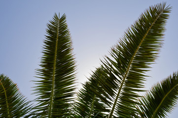 The tops of the trunks of beautiful tropical exotic palm trees with large green leaves against the blue sky
