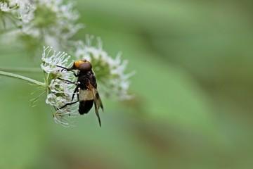 Gemeine Waldschwebfliege (Volucella pellucens) an Echter Engelwurz (Angelica archangelica)