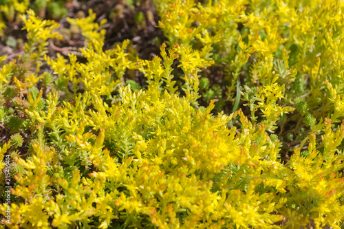 Sedum Sexangulare Known As Tasteless Thick Leaved Stonecrop