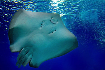 friendly stingray is smiling under water in the sea. Underwater observatory on the Red Sea, Eilat, Israel
