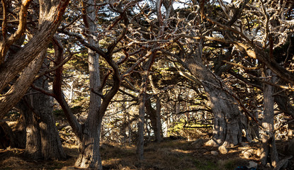 Monterey cypres tree cluster at Point Lobos