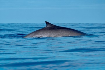 A fin whale near Pico Island with scarred flanks