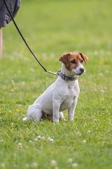 Portrait of a jack russel dog living in belgium