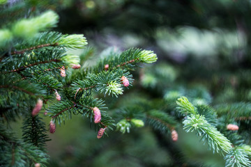 Young cones on a spruce tree after a rain