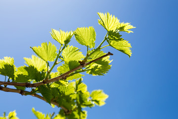 Grape branches with the young green shining leaves on blue sky background.