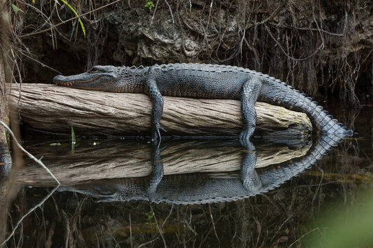 American alligator resting on log