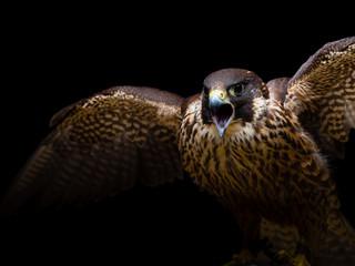 Peregrine falcon Fotoväggar