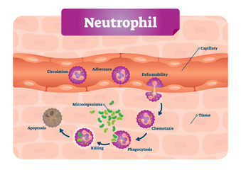 Neutrophil vector illustration. Medical educational scheme with labeled capillary, circulation, adherence, deformability, chemotaxis and phagocytosis. Microscopic closeup