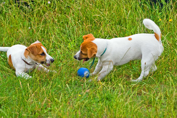 Jack Russelsl playing in the grass with the ball