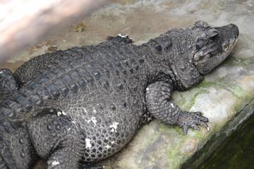 Crocodile - aligator - predator
