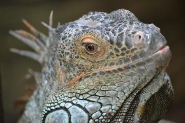 Lizard - head, close-up
