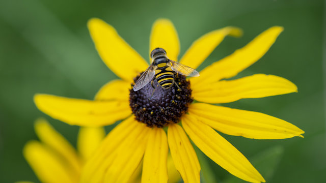 A small yellow and black hoverfly mimics the look of a bee as it lands in the center of a black-eyed susan flower.