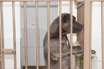 cachorro escuro  de pé preso em canil cane corso italiano brasil 2018
