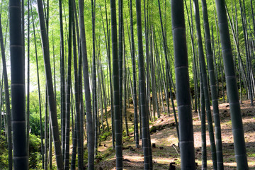 Bamboo forest-8