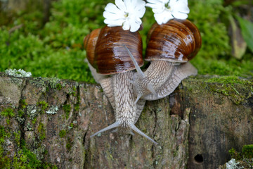 Two snails with white flowers, concept love, kiss, wedding