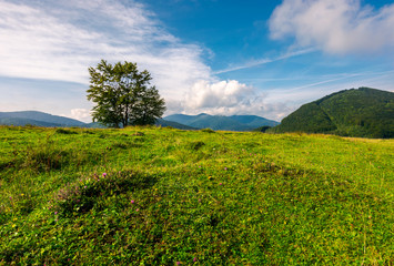 tree on the grassy meadow in mountains. beautiful scenery in early autumn. wonderful forenoon weather