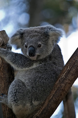 Canvas Prints Koala an Australian koala