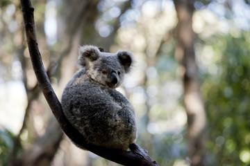 a joey koala